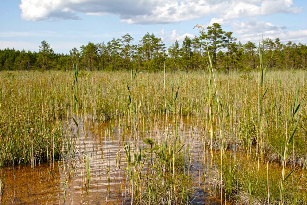 Lubjarikkad sood Engure järve rahvuspargis