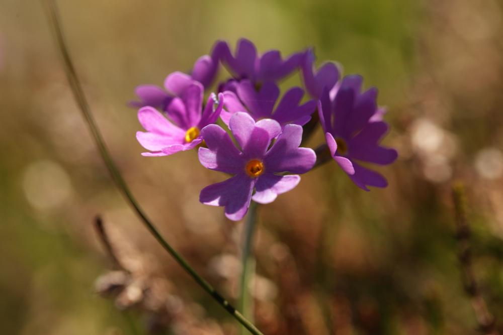 Primula farinosa