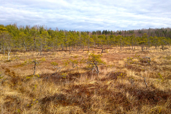 Active raised bog in Augstroze Nature Reserve.