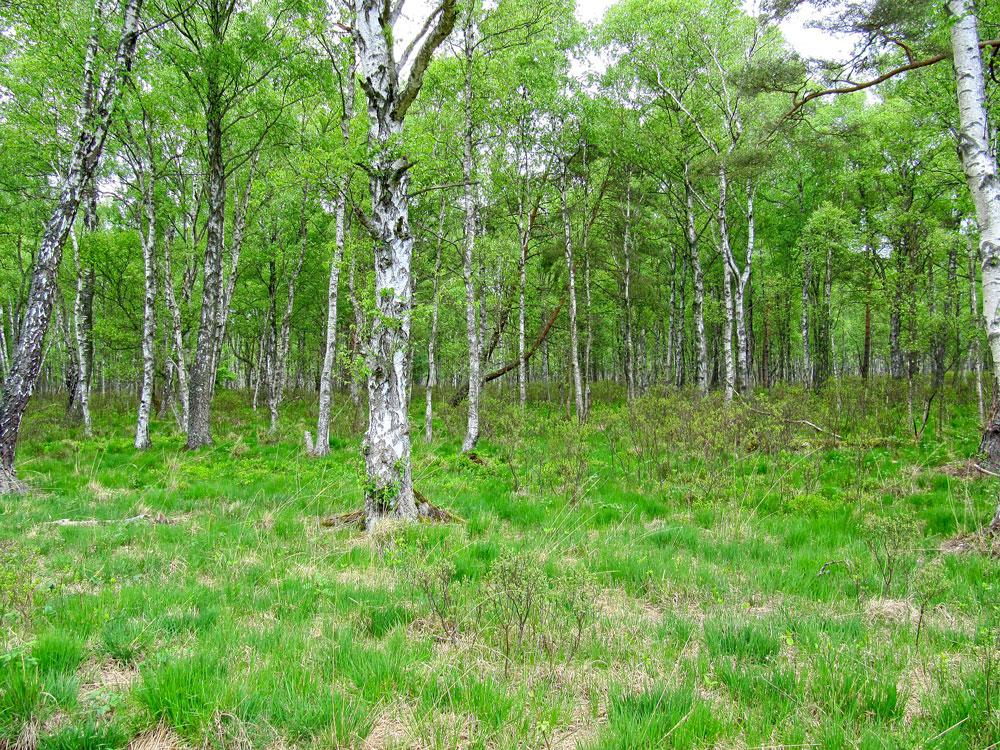 Birch bog forest